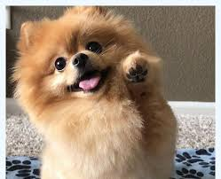 10 Horrible Mistakes To Avoid When You (Do) cute pomeranian | Dog Breed