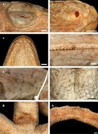 Holotype of Anolis cybotes doris Barbour, 1925 (MCZ 13739): (a ...