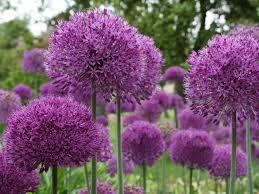 spring flowering bulb 11 blooming bulbs hgtv bulb flower types n69