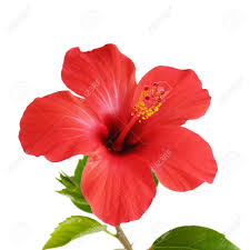 hibiscus flowers red hibiscus flower head over white background stock photo picture