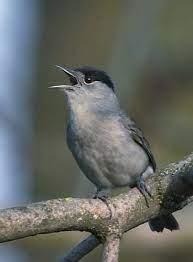 Sylviidae - Wikipedia