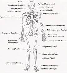 human bones labeled   anatomy human body    human bones labeled diagram of human skeleton labeled human anatomy diagram