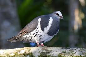 Wonga Pigeon (Leucosarcia melanoleuca) videos, photos and sound ...