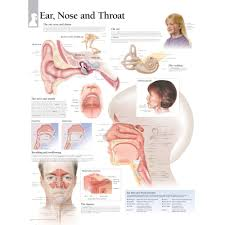 Larynx Chart Ear Nose And Throat Chart