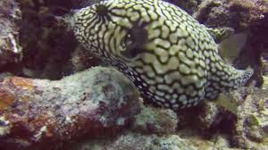 the camouflaging mappa puffer fish