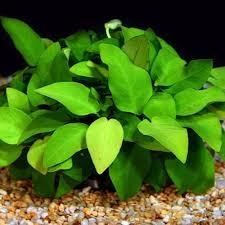 anubias planten