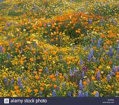 san luis obispo county ca ground del of mixed spring wildflowers