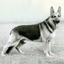 German Shepherd Dog Dog Breed Information