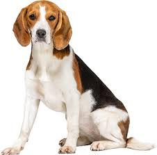 Beagle Puppy Feeding Chart Best Dog Food For Beagles Puppies Adults Seniors