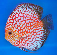 Discus #fish #aquariumfish | Discus fish, Pet fish, Freshwater aquarium fish