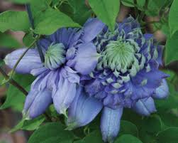 Vanso Blue Light Queen Of The Vines Clematis Hybrid