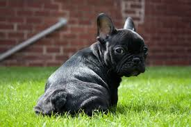 black french bulldog puppy. Brilliant French Black French Bulldog Puppy Throughout Puppy