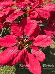 Weihnachtsstern Oder Euphorbia Pulcherrima Oder Flamme Blatt