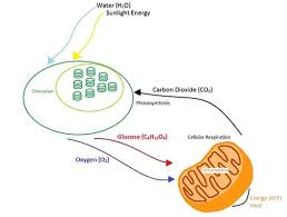 Cell Energy Flow Chart Photosynthesis And Cellular Respiration Answer Key Photosynthesis And Cellular Respiration At The Atomic Level
