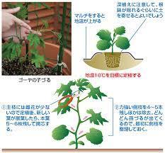 ゴーヤ の 栽培 方法