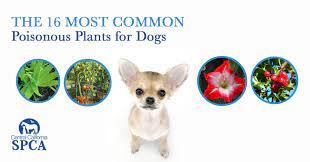common poisonous plants for dogs
