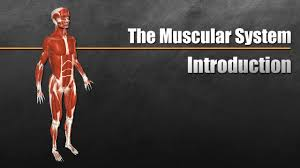 Muscle is a soft tissue found in most animals. The Muscular System Explained In 6 Minutes Youtube