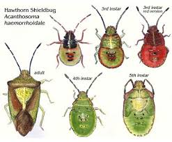 Bug Id Chart Shieldbugs Illustrated Life Stages