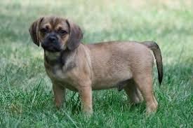 black and brown puggle. Beautiful Brown Puggle Dog And Black Brown Puggle G