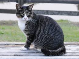 Image result for grey striped cat clipart