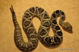Snake With Diamond Pattern Gorgeous Venomous Snakes Of Eastern North America Gregs Natural History