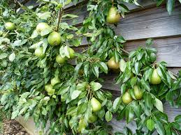 Fruit Trees Growing Against A Wall On A Wire Cordon In A Large Growing Cordon Fruit Trees