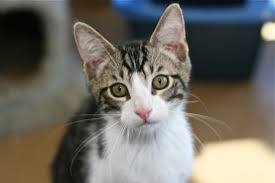 norman is a male black grey white tabby kitten born mar 29 2017 this little guy is full of beans and ready to bring smiles daily to his new family