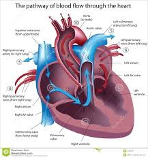 Which Chamber Of The Heart Receives Deoxygenated Blood From