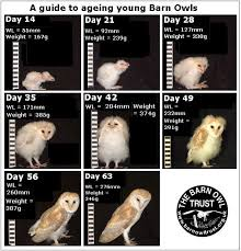 Owlet Identification And Ageing The Barn Owl Trust