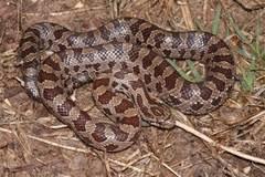 Snake Identification Chart Common Snakes Identification Guide For The Houston Area