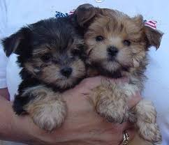 teacup yorkie puppies for adoption. Exellent Teacup With Teacup Yorkie Puppies For Adoption