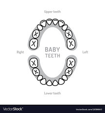 Teething Chart Babies Baby Tooth Chart Baby Mouth Primary Teeth Vector Image