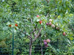 Tree Can Produce 40 Different Types Of Fruit And Yes You Can Buy Different Fruit Trees