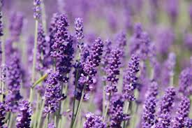 Image result for images of lavender