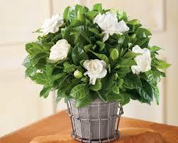 growing gardenias in pots gardenia tree care and how to grow it balcony garden web