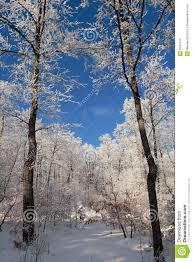 january winter background. Simple January Download Two Winter January Trees Stock Photo Image Of Background  6634734 In January Winter Background