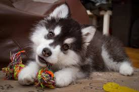siberian husky puppy chewing on toy how to stop your puppy from chewing on everything