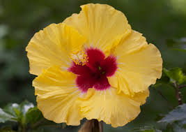 hibiscus flowers wild hibiscus south africa flower guide