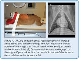 Veterinary Radiology Positioning Chart Small Animal Thoracic Radiography