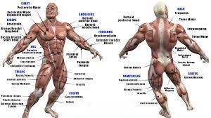 Muscle Anatomy Transform Gym