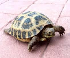 Basic Care Russian Tortoise Arizona Exotics Tortoises