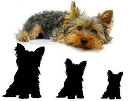 Yorkie Size Chart Yorkie Size Small Standard And Big Yorkies Yorkshire