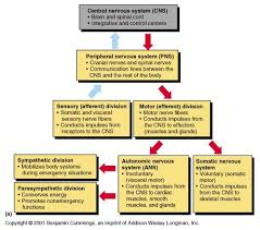 Nervous System Flow Chart Anatomical Divisions Of Cns Divisions Of The Nervous