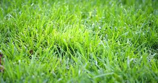 Grass Identification Chart Uk Lawn Grass