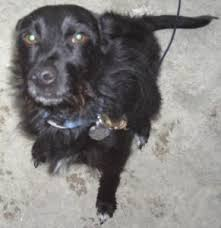 black terrier mix. Wonderful Terrier Rattle With Black Terrier Mix A