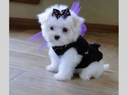 maltese dog. home » dog breeds maltese e