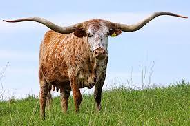 Longhorn Horn Growth Chart Texas Longhorn Cattle Mating Strategies Dickinson Cattle Co
