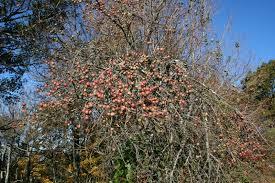 Best Fruit Trees For Virginiau0027s Piedmont  Cville FoodscapesDwarf Fruit Trees Virginia