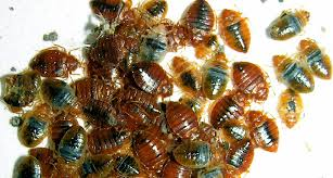 war on bugs battling the resurgence in bedbugs has been hampered by the development of pesticide resistance in the bugs do it yourself methods are being
