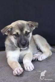 where to siberian husky the universe of s short haired husky